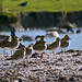 Golden Plovers-5