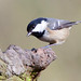 Coal Tit  Parus  Ater by billoddie3