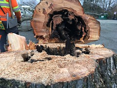 Dying elm trees removed