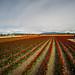 Roozengaarde Tulips-019