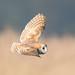 barn owl by ianbollen