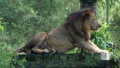 lion_DSC_0185