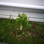 kawakawa planting in shaded garden behind the garage by shiny
