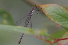 Spotted Spreadwing - Lestes congener - King County, Washington, USA - August 22, 2007