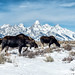 The Tetons:  Where Wildlife & Landscapes Co-Exist