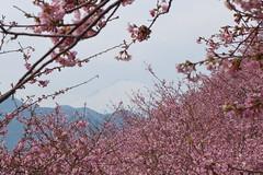 「まつだ桜まつり」開催中の西平畑公園。晴れると富士山も見える