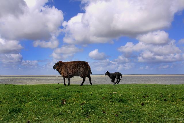 Groningen: Lauwersoog, sheep on the dike