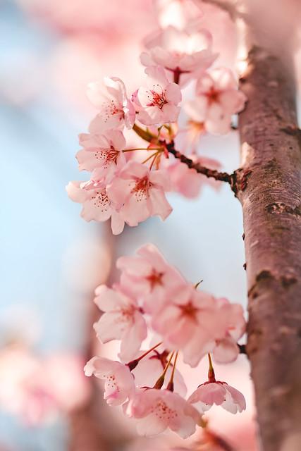 Full Blossom, Fujifilm X-H1, XF90mmF2 R LM WR