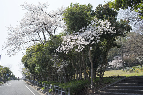 Bicycling down the slope where cherry blossoms bloom