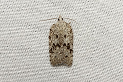 Acleris maximana - Hodges # 3557 - WA USA