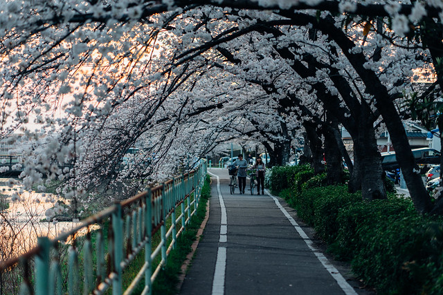 CherryBlossoms_44