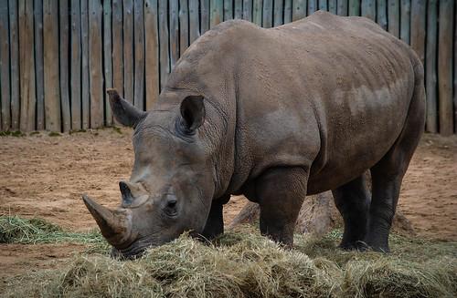 Rhino Grazing