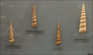 Turritella shells  in Vienna Natural History Museum - IZE-2290
