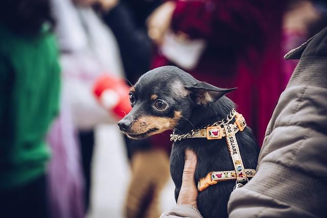 ワクチンが完了していないため抱っこで散歩する犬