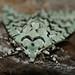 Griposia aprilina - Photo (c) Ilia Ustyantsev, algunos derechos reservados (CC BY-SA)
