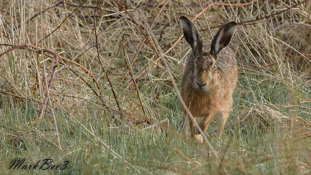 Brown hare, Nikon D500, AF-S VR Nikkor 300mm f/2.8G IF-ED