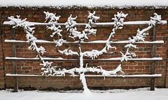Espalier in Snow