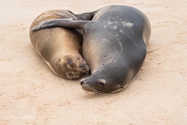 Galapagos Sea Lions having a cuddle 500_3113.jpg