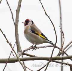 Chardonneret élégant - Carduelis carduelis - European Goldfinch : Michel NOËL © 2018-3245.jpg