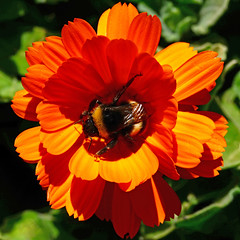 bumblebee on calendula