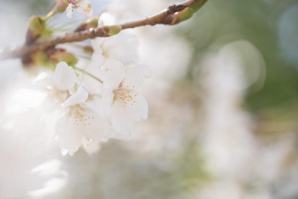 2018-04-13 忍野の桜 005