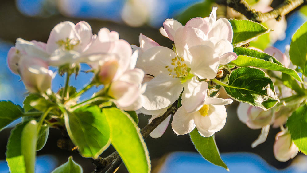Apfelblüte_036