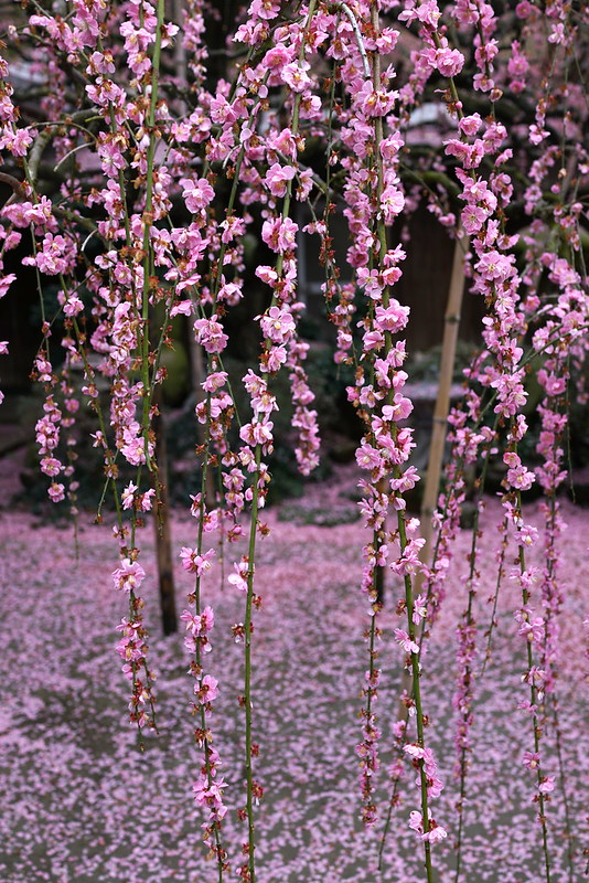 Plum blossoms at Yagi,Awajishima JAPAN