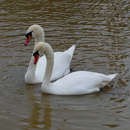 Swan courtship display, Stratford