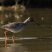 Chevalier gambette, Common Redshank