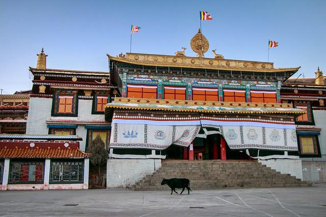 A black yak walking in Tibetan buddhist temple チベット仏教寺院の前を歩く黒いヤク