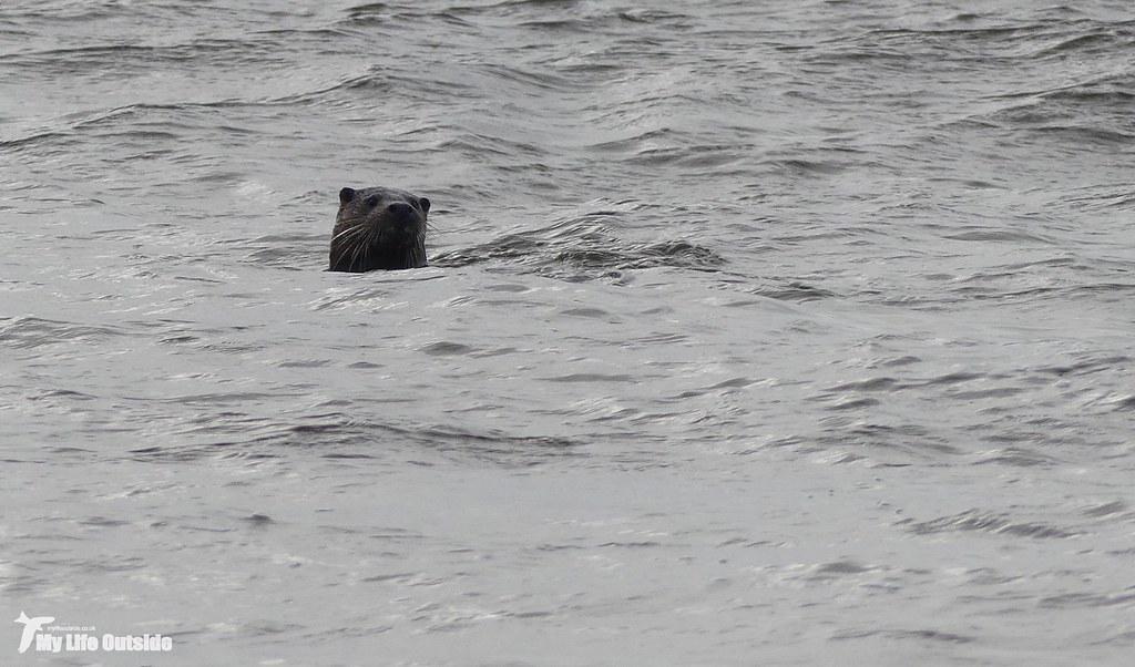 P1120690 - Otter, Isle of Mull