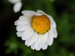 White daisy (白いデイジー)
