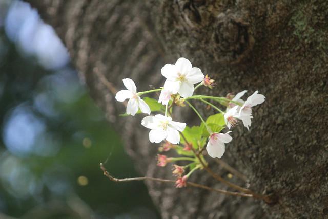 haijimahiyoshi-gosyuin04043
