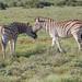 Zebra Buddies
