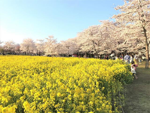 senbon-sakura