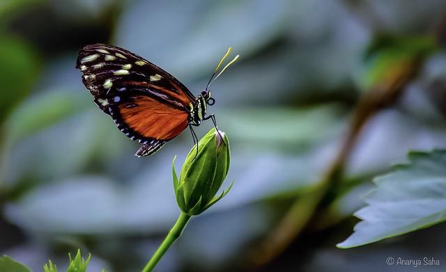 Magnificent Monarch