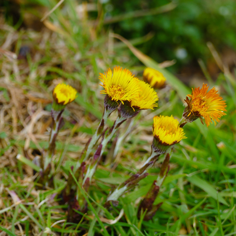 Canalside coltsfoot flowering