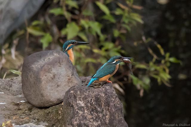 20180329-kingfisher-DSC_9855