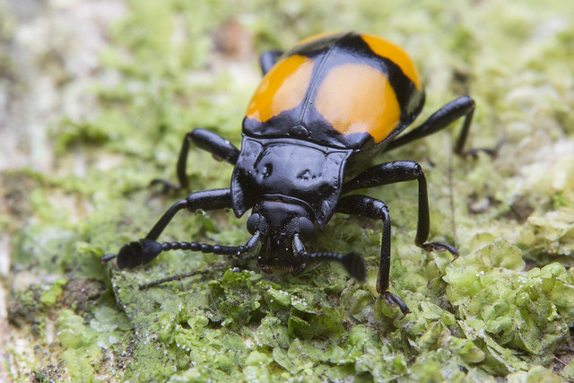 _Z2A1202 Handsome fungus beetle