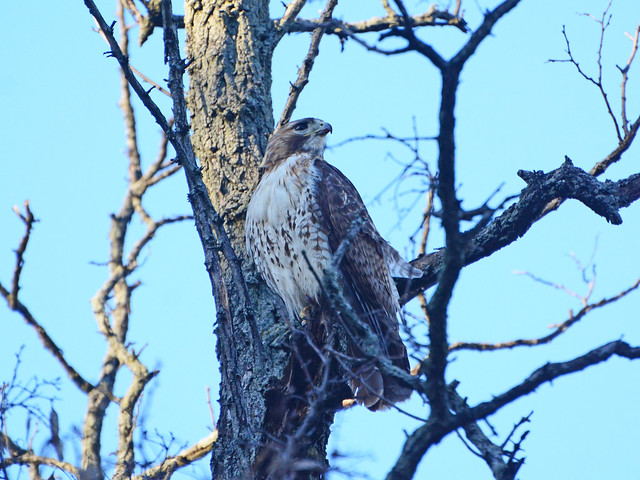 New Cathedral Male Hawk - 9016