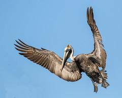 Brown Pelican Landing Wings Up