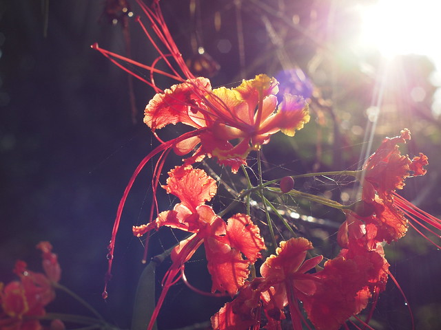 Red tropical flower with backlit silk strands
