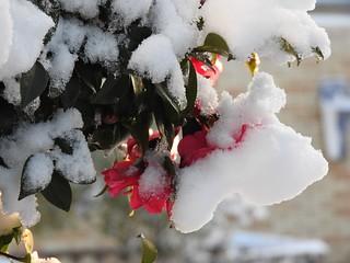 雪の朝5 椿
