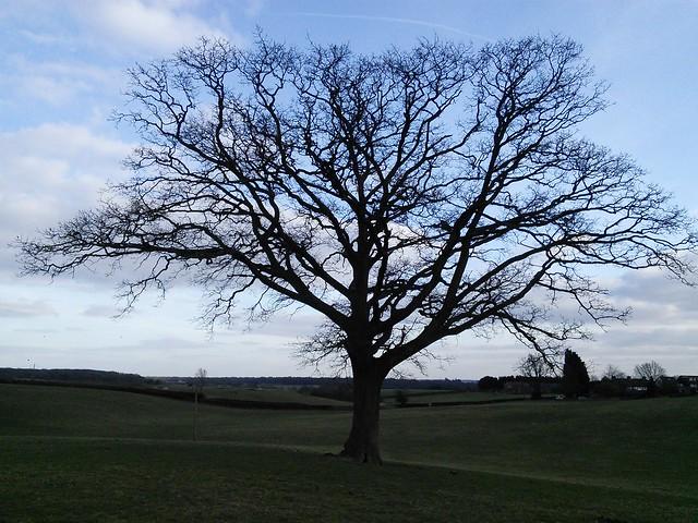 A field oak, Tewin