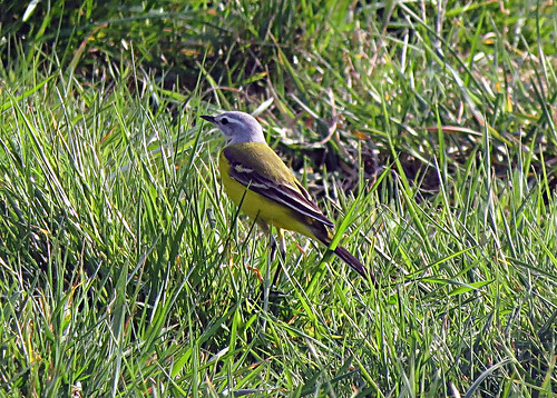 'Channel' Wagtail Motacilla flava flava x flavissima Tophill Low NR, East Yorkshire April 2018