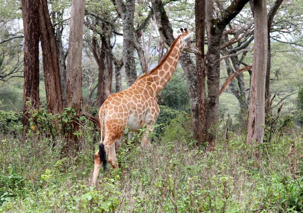 Giraffe Center, Nairobi