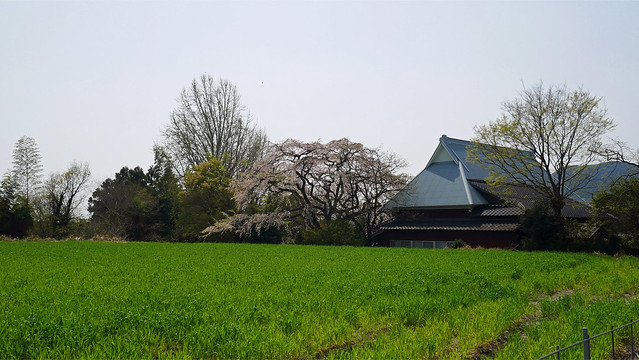 宝珠寺のヒメシダレザクラ