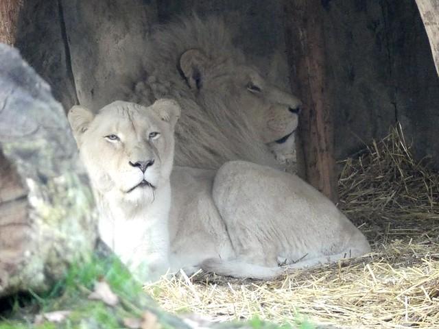 Weißer Löwe, Ouwehands Dierenpark Rhenen