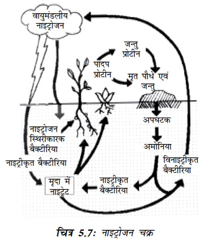 चित्र 5.7 नाइट्रोजन चक्र