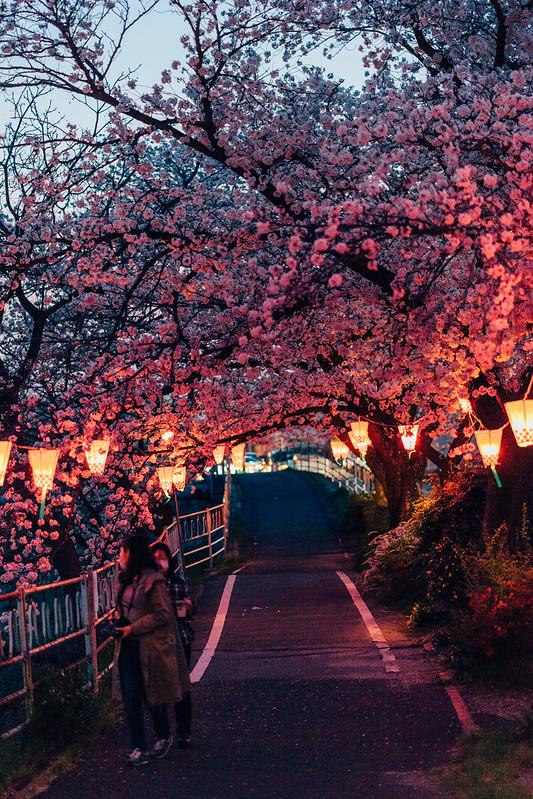 CherryBlossoms_39